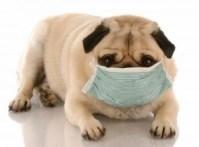 sick-pug