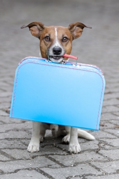homeless dog holding a blue big bag