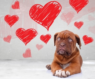 cute dog de bordeaux puppy looking up to heart shapes for valent
