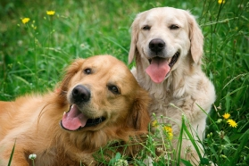 Portrait of two young dogs playing in the meadow