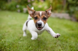 happily running little puppy