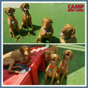 CBW Vizsla Party