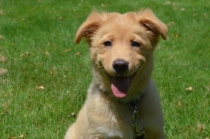 Huge smile on the face of a sweet Nova Scotia Dog Tolling Retriever puppy dog.