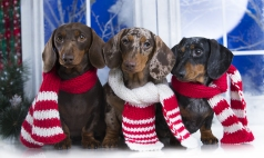 dachshund  Christmas dog