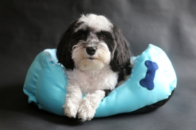 Havanese Dog. Black and White Havanese dog sits in a blue dog be
